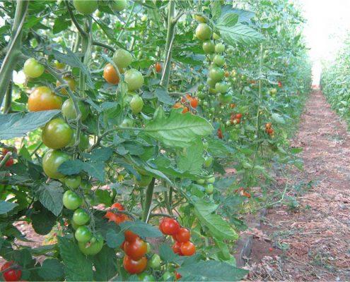 carlo noro-pomodori